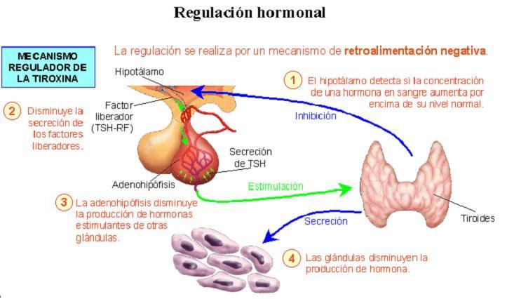 Anatomía y fisiología humana – El sistema endocrino, hormonas y ...