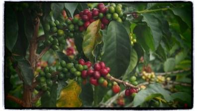 kahve cekirdekleri
