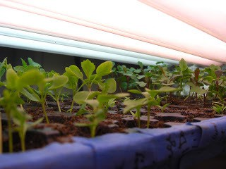 To Do In The Northwest Edible Garden: February 2011