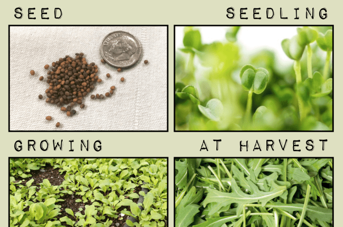 How To Grow Arugula In The Pacific Northwest