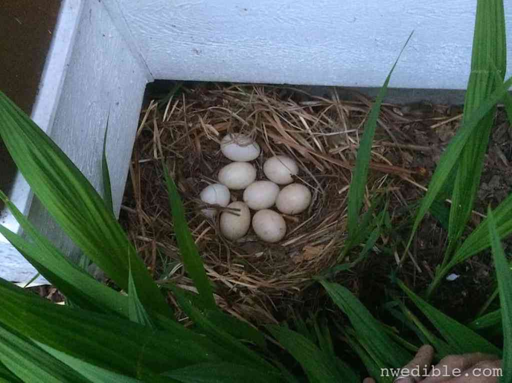 Duck Nest94