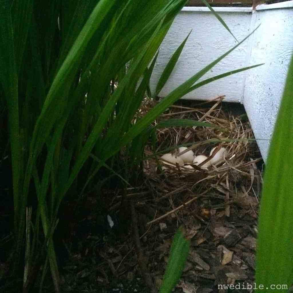 Duck Nest97