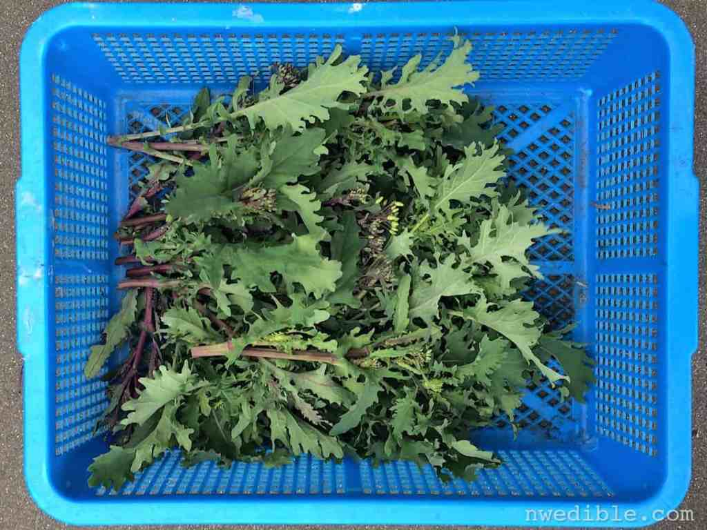 A kale is a kale is a kale, even though some kales are grown to look like rosettes in your flowerbed. Because ornamental kales are bred to get by on their looks, their culinary attributes lack development.