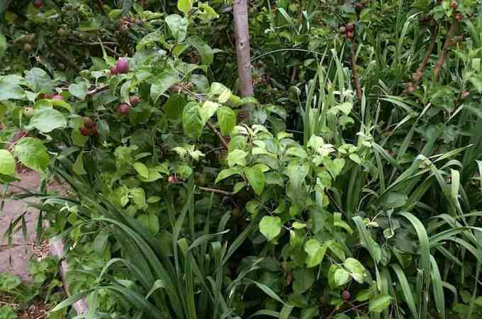 One quartet of apples, underplanted with perennial garlic and strawberries