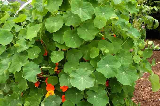 Self-seeding nasturtiums are eating my garden beds. I'll have to yank them back soon to make room for actual vegetables.