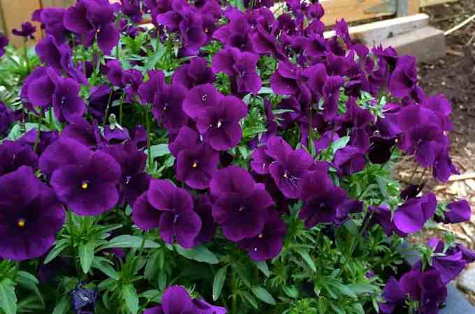 These Violas just took over this pot. I love them.