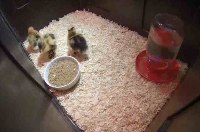 Duckling Cam!