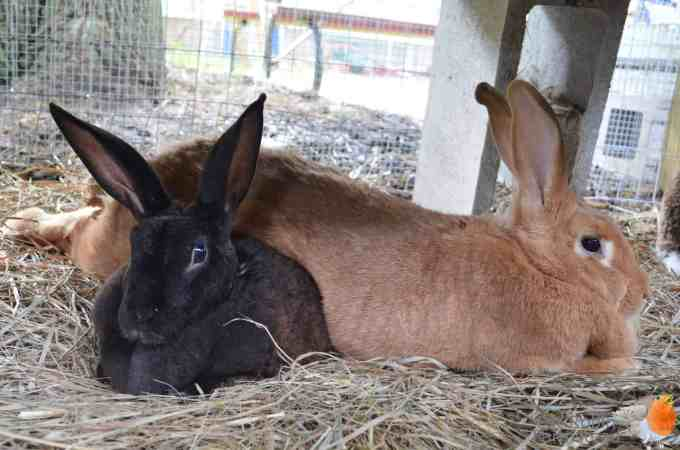 Meat Rabbits: Truths No Homesteading Article Tells You