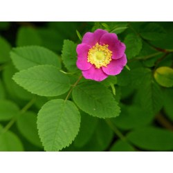 Small Crop Of How To Grow Roses From Seeds