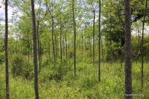 Melia trees reforestation arid Africa Kenya Nyumbani Village