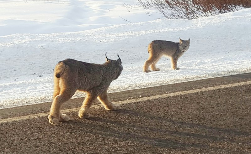 Lynx Hit The Slopes in Colorado