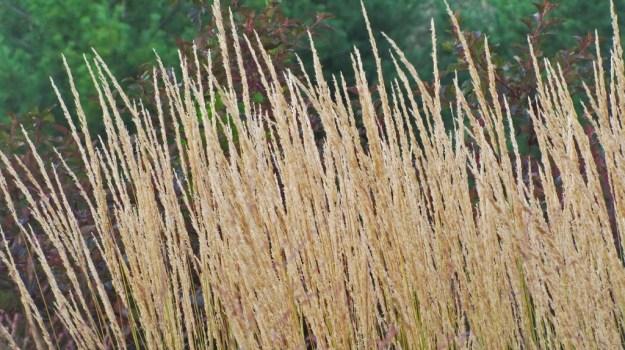 Ornamental grasses take the spotlight the obsessive for Ornamental sea grass