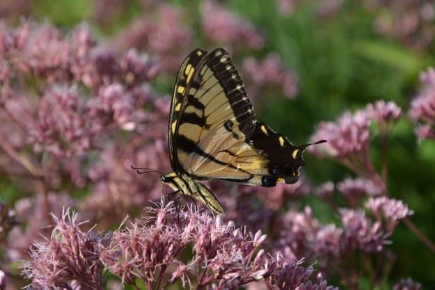 butterfly joe pye 2