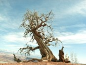 USA, Utah, Ancient tree at top of canyon in Dead Horse Point State Park