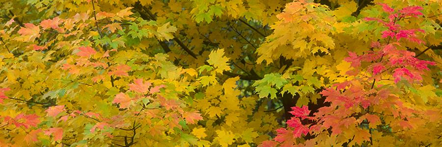 Sugar maple in autumn - Copyright Mark Gormel 900x300
