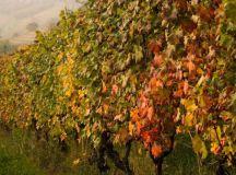 Flavescenza dorata: un grave danno alla viticoltura alessandrina, colpite il Casalese e l'Ovadese