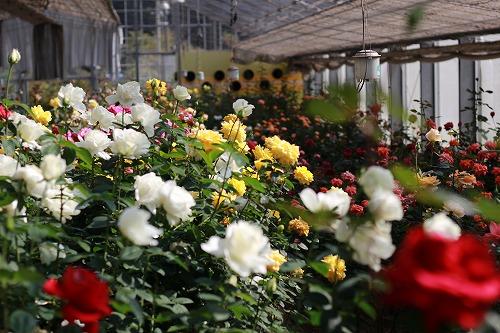 2000株ものバラが咲き誇ります。