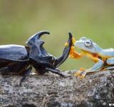 um sapo montando em um besouro (1)