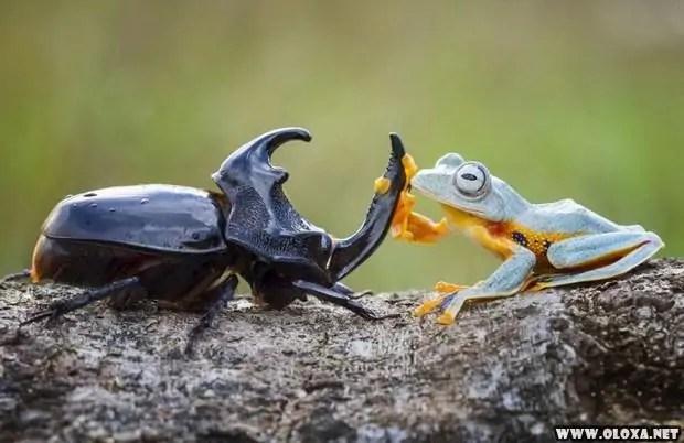 Momento cuti-cuti: Um sapo montando em um besouro