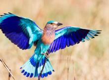 neelkanth-heaven-bird