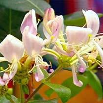 Zimolez (Lonicera periclymenum - Common honeysuckle - Zimolez ovíjivý)