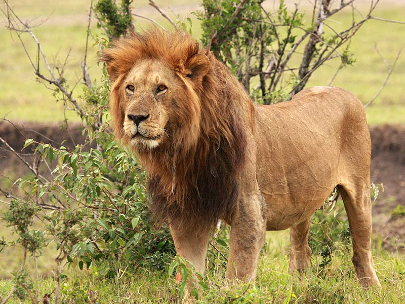 Save the lion   OMPE   Organisation Mondiale pour la Protection de l     Over the past 20 years  the lion population has decreased by 43   due to  deforestation and poaching in particular  The African lion and the Asiatic  lion are
