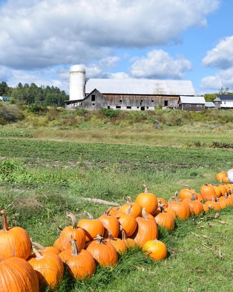 Pumpkins picked gt pumpkin spice