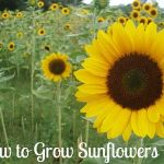 How to Grow Sunflowers {Start to Finish}