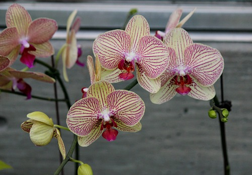 white yellow pink orchid