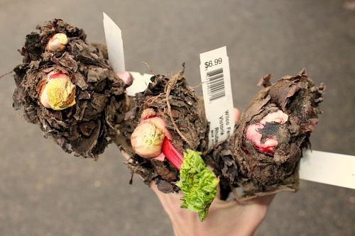 rhubarb crowns