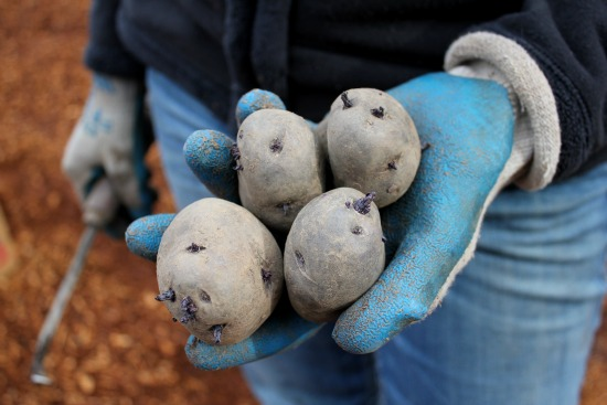 blue seed potatoes