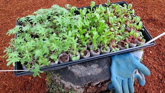 kale swiss chard seedlings