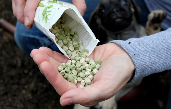 sugar snap pea seeds