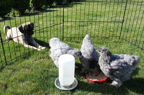 puggle puppy backyard chickens blue cochin