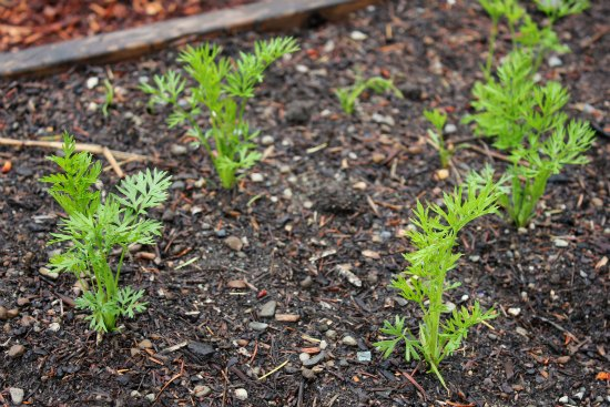carrot seedlings