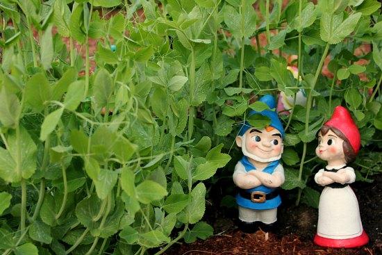 garden gnomes sugar snap peas