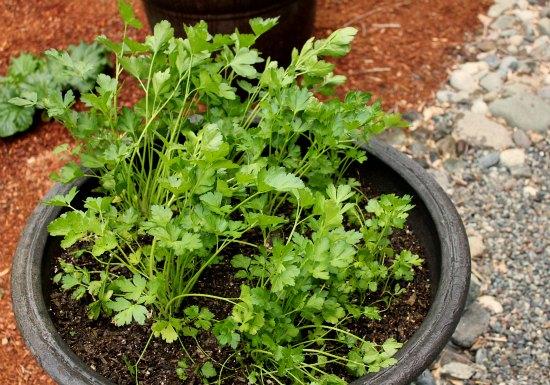 organic gardening flat leaf parsley