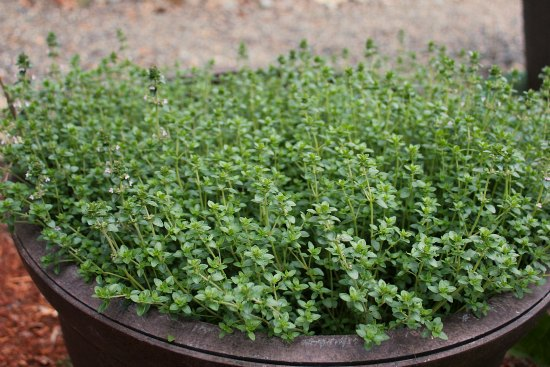 growing herbs in containers thyme