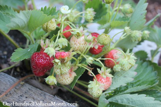 wood pallet garden strawberries