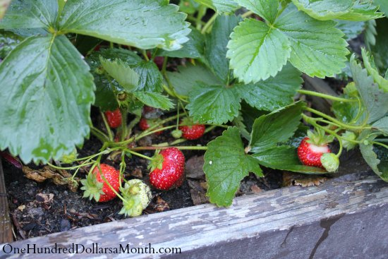 garden boxes strawberries