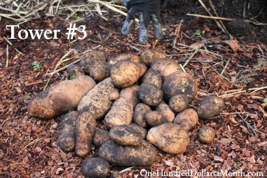 homegrown potatoes