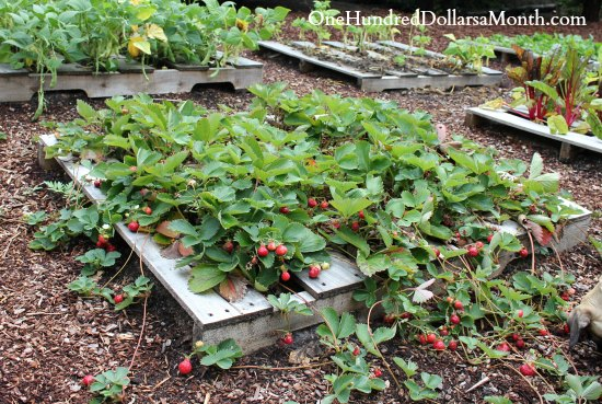 pallet garden strawberries