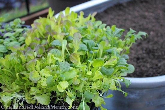 Winter Gardening - Growing Lettuce in a Greenhouse