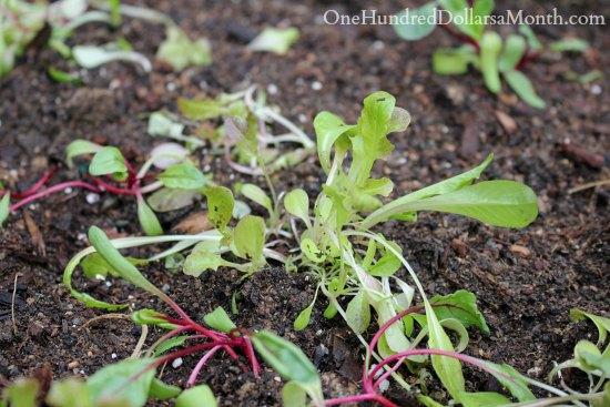 lettuce seedlings