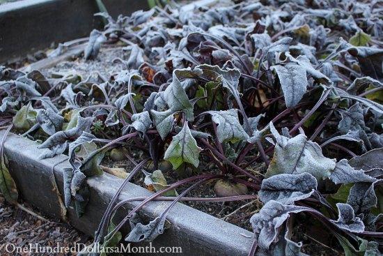 winter beets