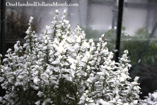 rosemary plant covered in snow winter