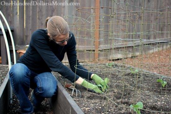 mavis butterfield garden planting broccoli
