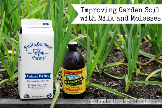 Improving Garden Soil with Milk and Molasses