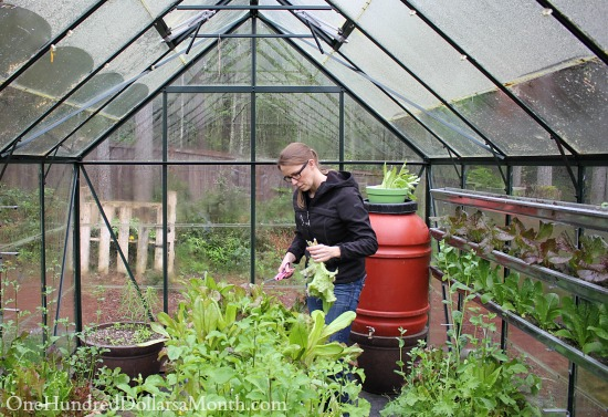 growing lettuce in a greenhouse garden