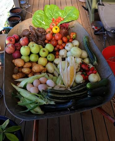 garden vegetables in wheelbarrow